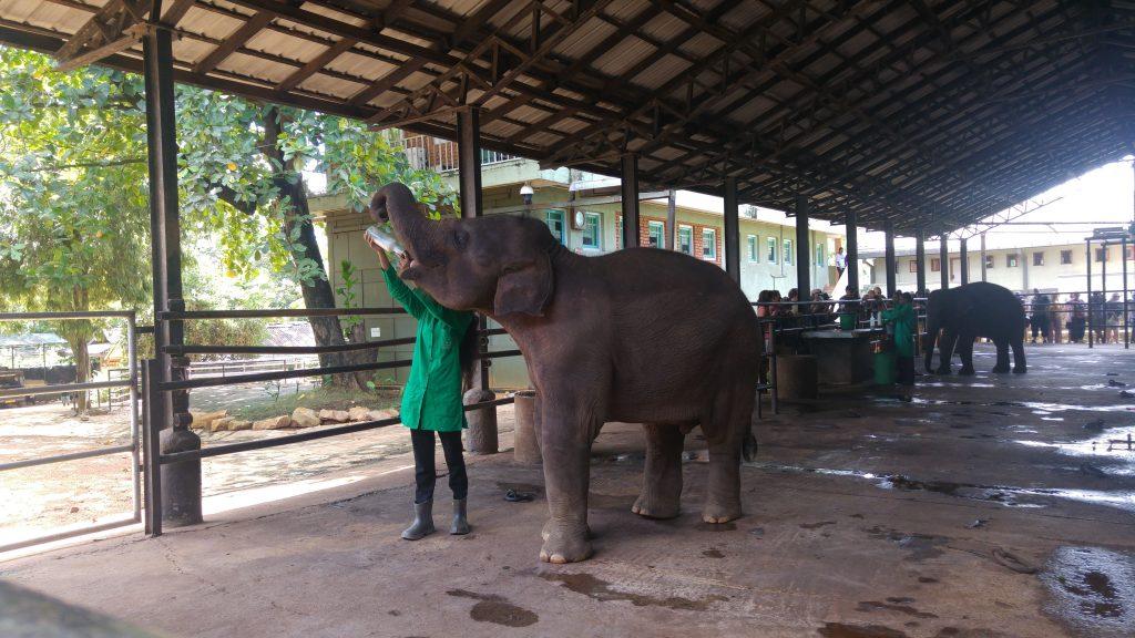 nursery_elefanti_srilanka_ceylonroots