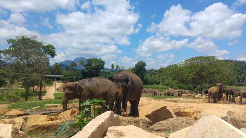 Elefantes de Pinnawala