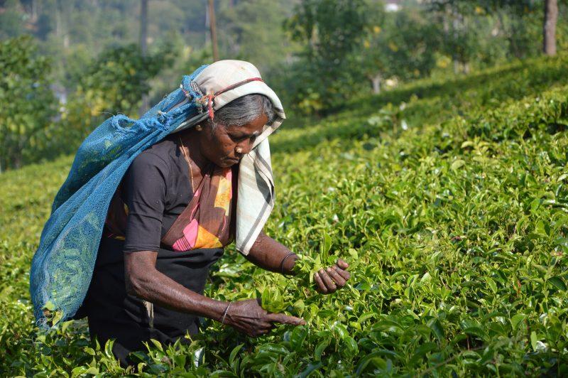 Il tè dello Sri Lanka: la felicità nel verde smeraldo